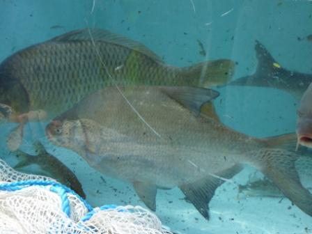 Fleet Pond Fish