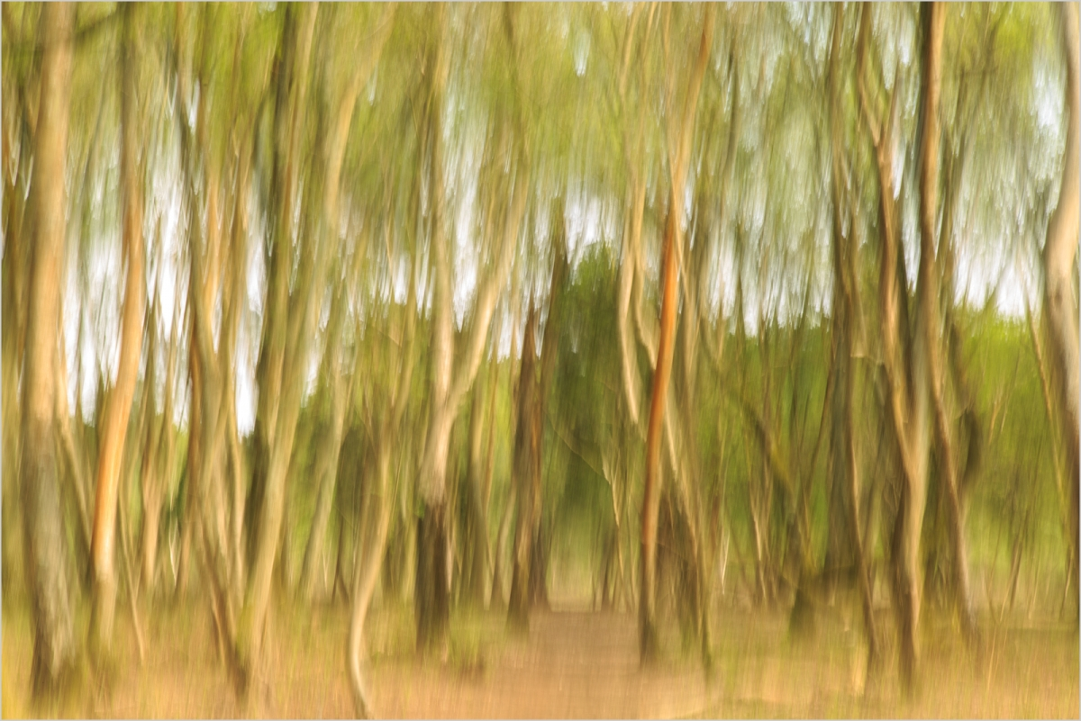 Taken using a technique called I.C.M - Intentional Camera Movement in April 19, when Alan was walking through the wooded section of the Fleet Pond reserve.