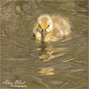 Canadian Goose Chick, taken by Alan West Spring 2021