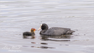 Chick and Mum, taken by Alan West Spring 2021