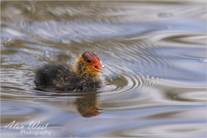 Coot Chick 2, taken by Alan West Spring 2021