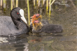 Coot Chick and Mum, taken by Alan West Spring 2021