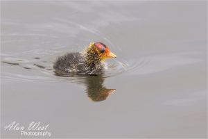 Coot Chick, taken by Alan West Spring 2021