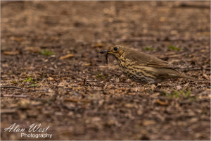 Thrush with Worm, taken by Alan West Spring 2021