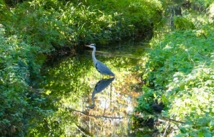Taken by Angela Stephens on 4th November 2020. Beautiful colours and reflections as the heron poses for her!