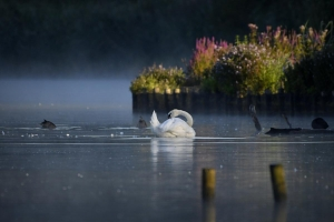 Taken by Chris Marney on 7th August 2020. A gorgeous Sandy Bay this morning, sun and mist and a swan!